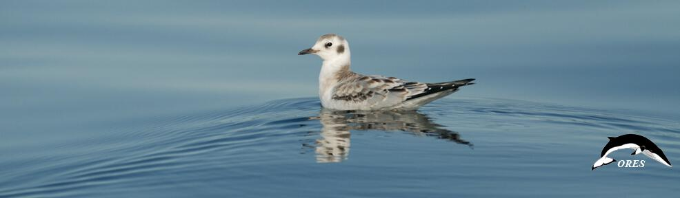 images/phocagallery/headers_ALL/headers_SPECIES/header_species_birds_kittiwake_02_ ores kopie.jpg