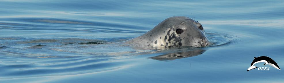 images/phocagallery/headers_ALL/headers_SPECIES/header_species_hg_grey seals_2006_t42f103_ ores-chris morris.jpg